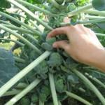 Капуста брюссельская выращивание и уход