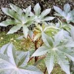 Выращивание клещевины, когда сажать и как выращивать