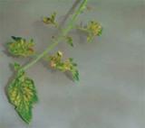 желтые листья рассады