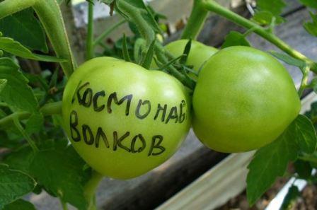 tomat_kosmonavt_volkova_otzyvy