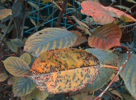 Коккомикоз вишни фото