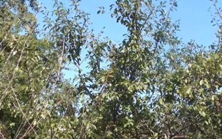 болезни вишни и методы борьбы