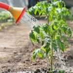 Правила полива овощей, что и сколько поливать
