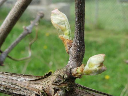 privika_vinograda