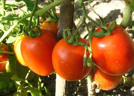 tomaty_krasneli