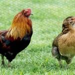 Курица араукана, аристократическая порода