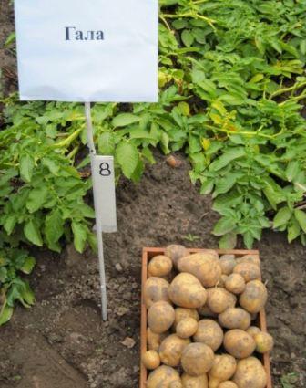 фото картофеля гала