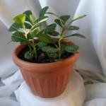 Молочай беложильчатый: как ухаживать и выращивать дома, фото
