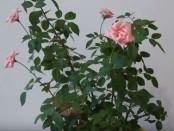 Обрезка розы фото