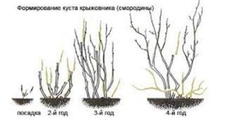 формирование куста крыжовника(смородины)