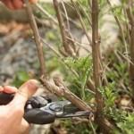 Правильный уход за крыжовником: как поливать, обрезать и удобрять.