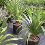 Панданус (винтовая пальма) уход в домашних условиях, фото растения
