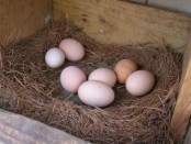 Почему куры не несут яйца