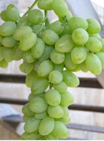 vinograd_elegant