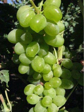 vinograd_elegant_1