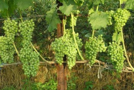 vinograd_elegant_3