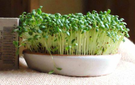 Как выращивать на подоконнике салат