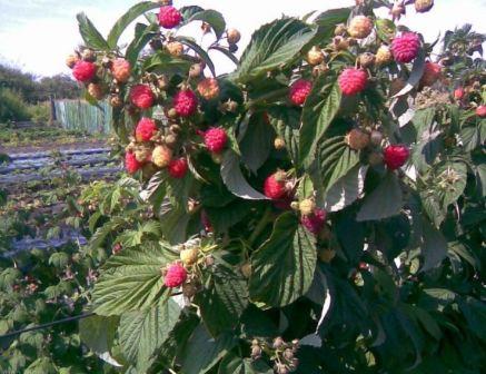 Малиновое дерево фото