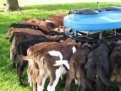 откорм бычков на мясо в домашних условиях таблица