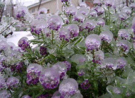 Алиссум зимой фото