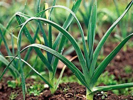Что можно посадить после лука