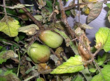 Фитофтора томат