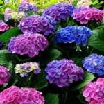 Как правильно сажать и ухаживать за гортензией садовой