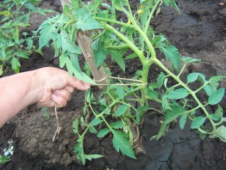 kak-podvyazyvat-pomidory-v-teplice-iz-polikarbonata1