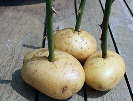 Посадка розы из букета в картофелину
