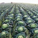 Капуста престиж f1 отзывы огородников, описание сорта