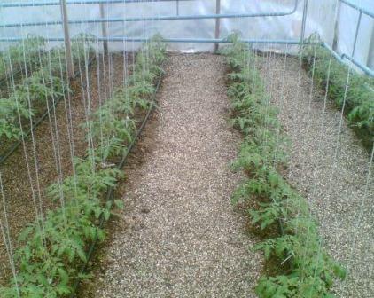 помидоры в теплице из поликарбоната посадка и уход