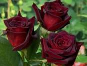Роза черная магия описание фото