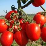 Какие сорта томатов устойчивые к фитофторозу, в теплице