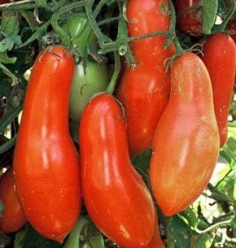 томат ракета фото