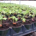 Подготовка семян к посеву на рассаду, полезные советы