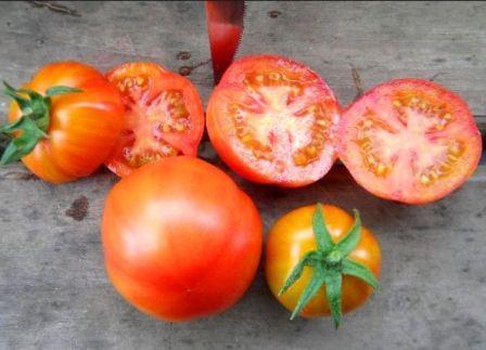томат санька характеристика и описание сорта