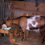 Содержание коз зимой, чем кормить, как согреть