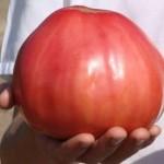 Томат алсу описание сорта фото отзывы, рекомендации выращивания