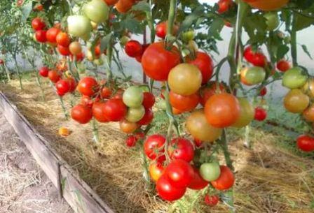 Томат евпатор отзывы фото урожайность
