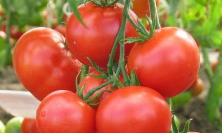 томат любаша отзывы