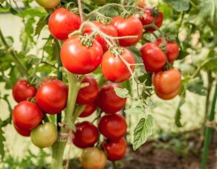 tomat_lubasha_f1