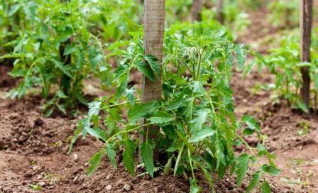 Как вырастить томаты безрассадным способом