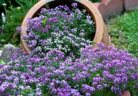 алиссум садовый посадка и уход фото