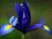 Ирис, фото цветка