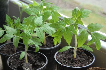 как вырастить крепкую рассаду помидоров в домашних условиях