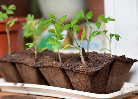 Когда сажать рассаду томатов