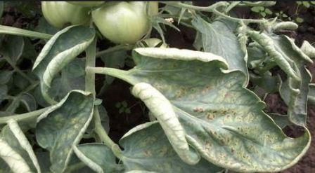 болезни томатов в рассаде скручивание листьев