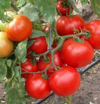 томат санрайз f1 отзывы фото