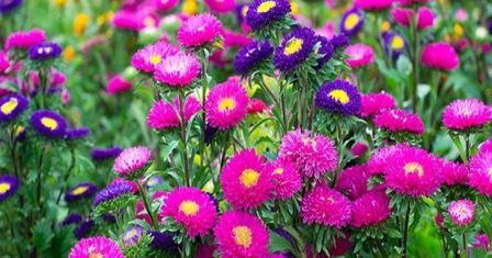 Цветы астры, фото