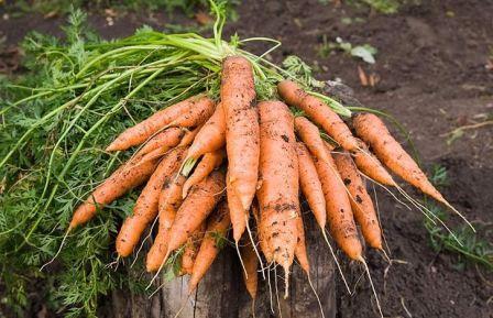 что посадить после моркови на следующий год